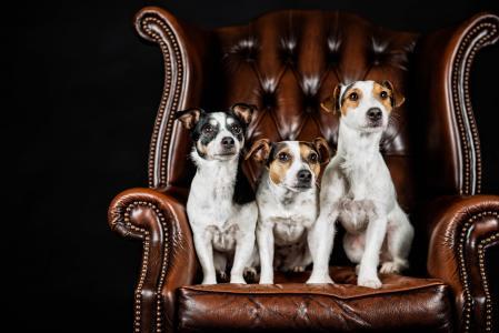 三只杰克罗素梗犬坐在皮椅上