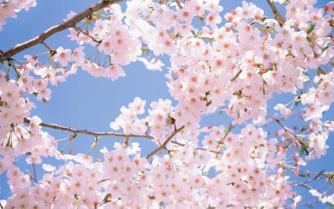 盛开的浪漫唯美迷人樱花