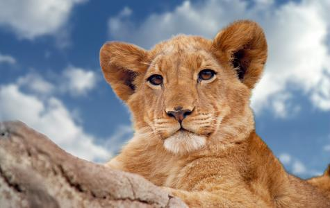小狮子躺在蓝天下