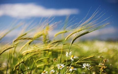 小麦在夏天的小穗