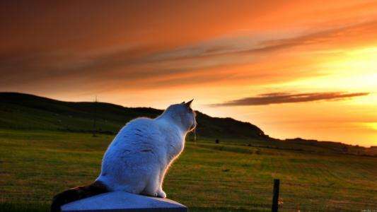 看着日落的白色猫