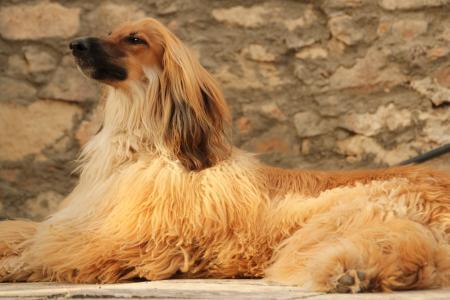 美丽的阿富汗猎犬躺在地板上