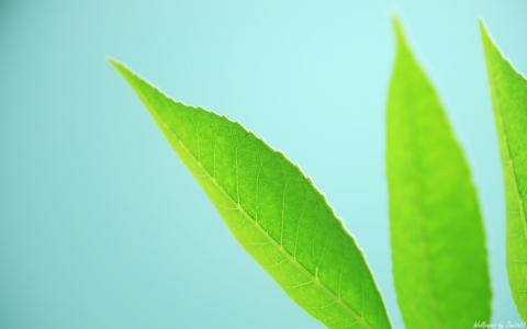 在蓝色背景上的三个绿色的树叶