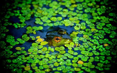 沼泽中的绿色青蛙