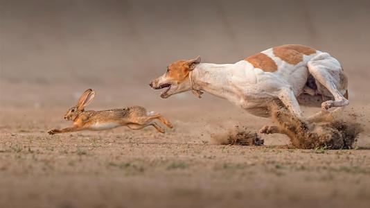 法老的狗赶上野兔