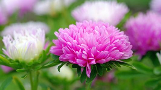 粉红色翠菊关闭