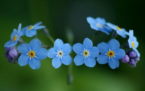 一圈勿忘我的花朵