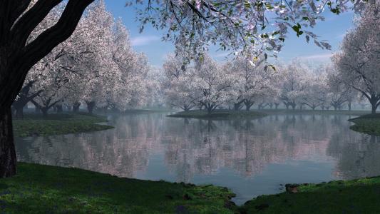 盛开的樱花