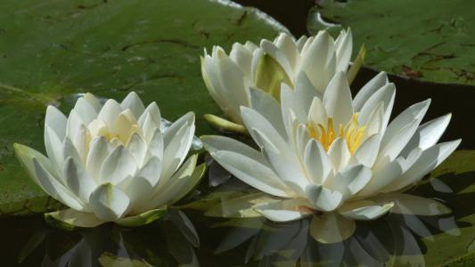 三个白色的睡莲在池塘里