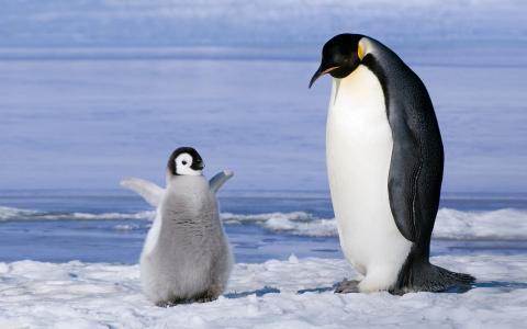 企鹅和小鸡