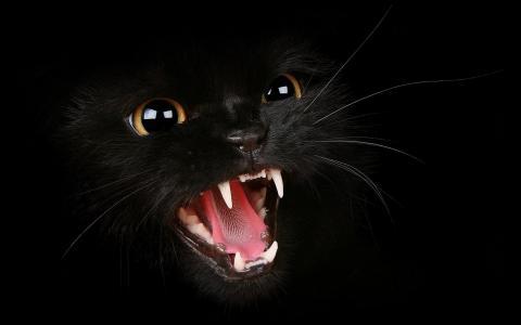 黑色的小猫