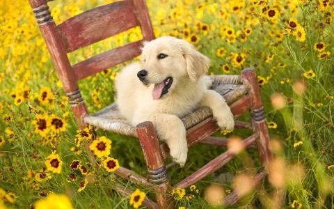 在椅子上的小狗