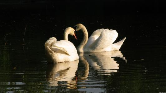 两只天鹅在水面上