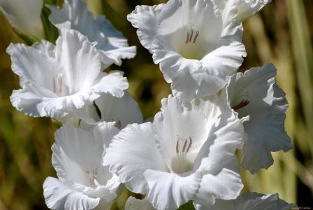 美丽的白色唐菖蒲