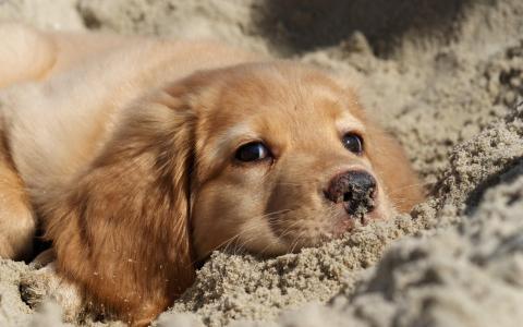 猎犬在沙滩上