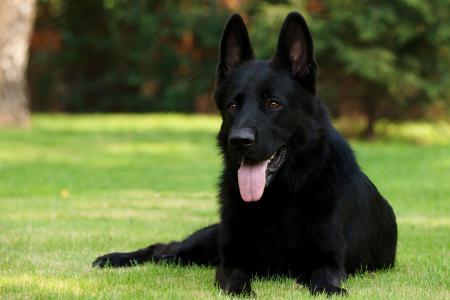德国牧羊犬黑色