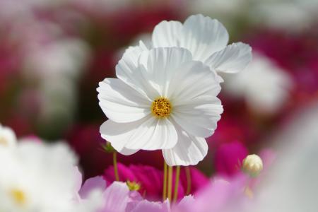 白色波斯菊花