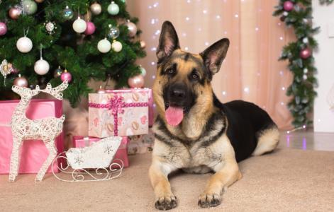 德国牧羊犬与舌头伸出树下,随着2018年的新年狗