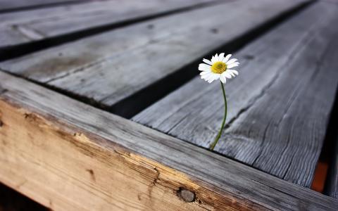 孤独的洋甘菊