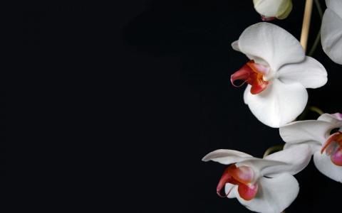 白色的兰花
