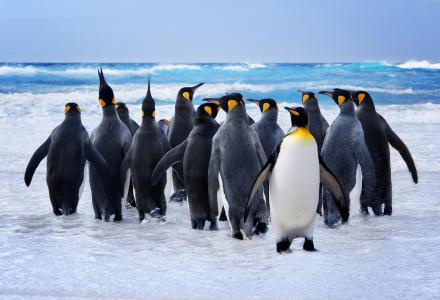 一群企鹅进入海水