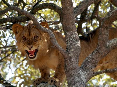 狮子在树上