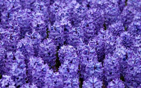 美丽的花朵风信子在清澈的春天