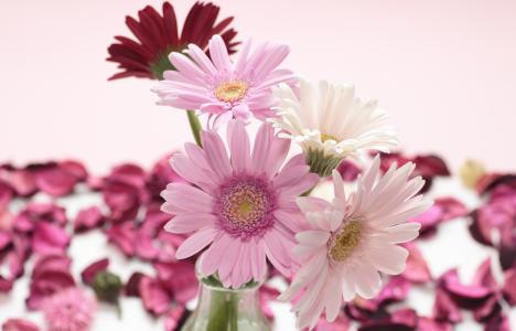 粉红色和白色的大丁草