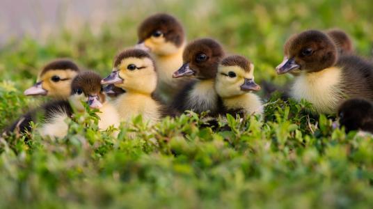 在绿草的小可爱的小鸭子