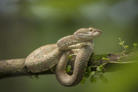 毒蛇Schlegel的柔软Bottrop树枝上