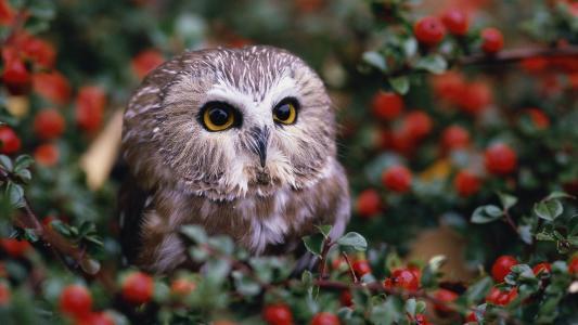 在红色莓果之中的猫头鹰