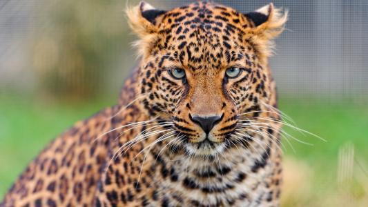 一只豹的忧郁脸
