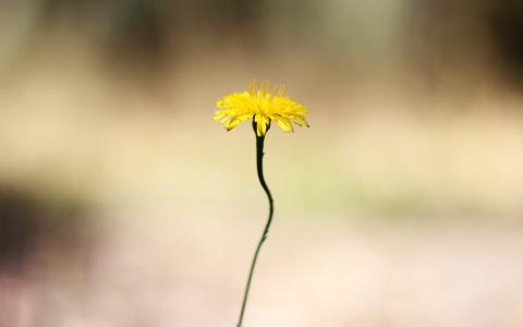 在一根薄茎的黄色花