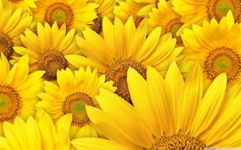 向日葵大花朵