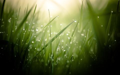清晨的露珠,在绿色的草地上