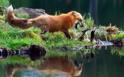 狐狸在水边玩耍