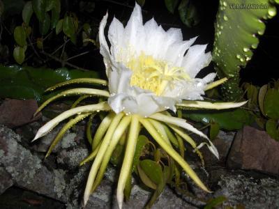 白色仙人掌花