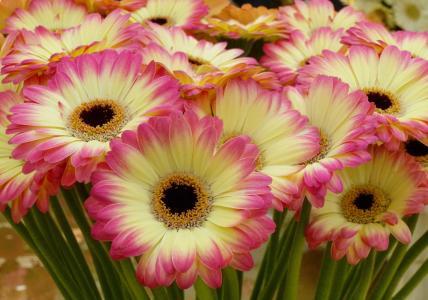 精致的黄色非洲菊与粉红色的花瓣