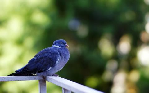 蓝色的鸽子