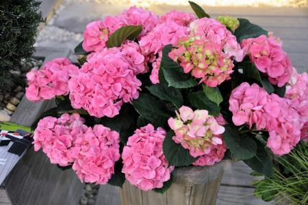 绣球花在花盆里栽培