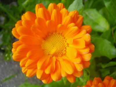 万寿菊美丽的花朵在花园里的花园里