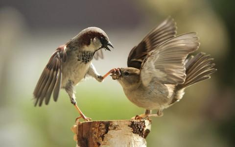 两只麻雀战斗