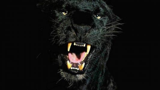 与黑豹的黑色壁纸