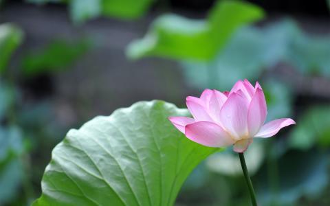 美丽的粉红色荷花