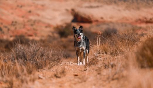 一条舌头伸出来的狗,站在干草地上