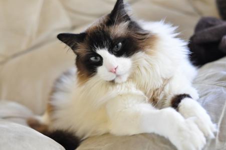 美丽的布娃娃猫