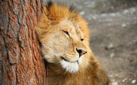 狮子在树上摩擦
