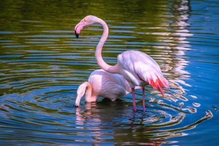 两只粉红色的火烈鸟沐浴在水中