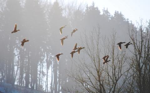 飞行的鸭子