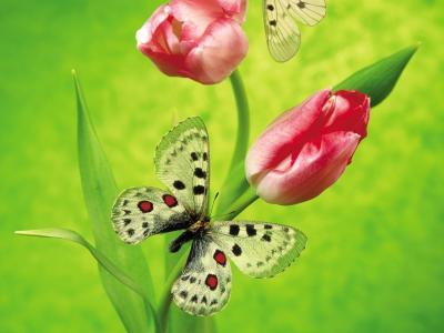 蝴蝶在郁金香